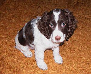 english springer spaniel puppy